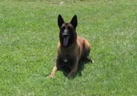 belgian shepherd nc 2015 u2013 dogs for law enforcement