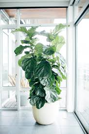Low Light Indoor Flowers Fiddle Leaf Fig Tree Care Popsugar Home
