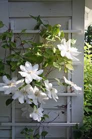 25 best flowering vines ideas on pinterest climbing flowering