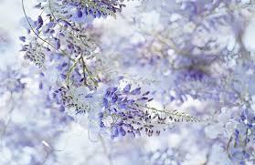 wisteria flowers wallpaper