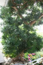 jatropha wikipedia 40 best my garden plants images on pinterest garden plants
