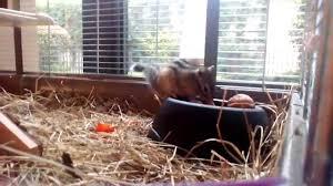 gabbie scoiattoli miele scoiattolo tamia sibiricus 11 mesi gira per la gabbia e