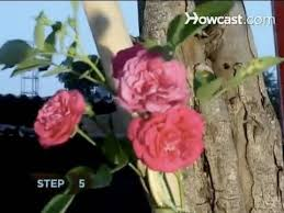 What To Use For Climbing Plants - how to train climbing roses youtube