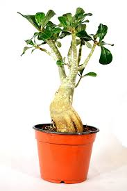 amazon com 9greenbox miss beauty desert rose ship bare root