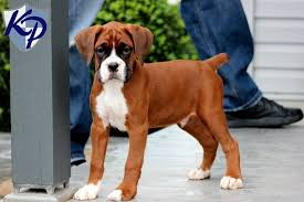 boxer dog price boxer u2022 keystone puppies puppies for sale in pa