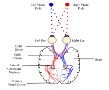 Anterior Association Area Visual Cortex Wikipedia