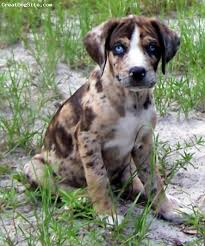 bluetick coonhound puppies for sale in louisiana a photo of a 8 weeks old rattle snake brindle louisiana