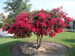 bougainvillea vines