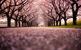 cherry blossom flower trees hd wallpaper pictures