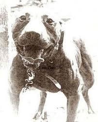 american pitbull terrier 9 meses 25 melhores ideias de nariz vermelho de pitbull no pinterest