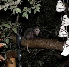 possum in my tree w pics neighborhood living in fence san