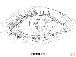 human eye anatomy coloring page printable pages human pages