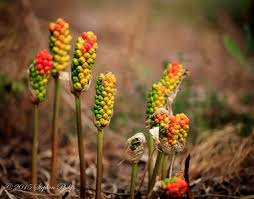 native oregon plants lords and ladies