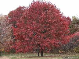 quercus rubra front tree lawn x2 landscaping pinterest red