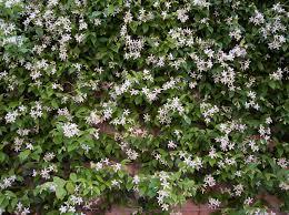 plant world trachelospermum jasminoides
