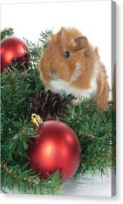 abyssinian guinea pig canvas prints page 2 of 3 america