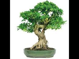 bonsai tree meaning in urdu grow my bonsai