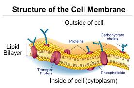 Cell Membrane Worksheet Cell Membrane Lets Things In And Out Of The Cell And Protects The