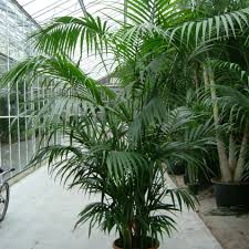 native nz plants palms grow your own tropical paradise