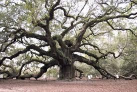 how do oak trees live hunker