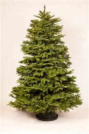 noble fir christmas tree 6 5 7 foot layered noble fir christmas trees green valley