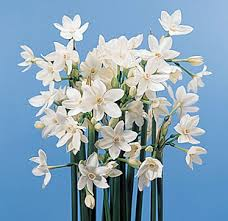 paperwhite flowers paper white narcissus narcissus papyraceus calyx flowers inc