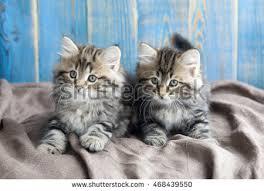 beautiful kittens two beautiful kittens stock photo 468439550 shutterstock