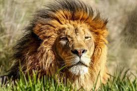 male lion wallpapers lion pics qygjxz