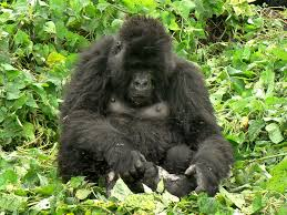 pictures gorilla mother