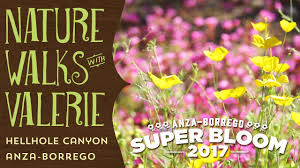 anza borrego wildflowers super bloom hellhole canyon youtube