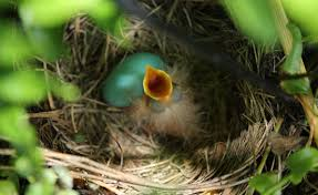 what to do with an what to do with an injured or orphaned bird audubon new york