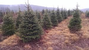 wholesale christmas trees pa