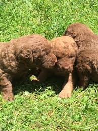 donway kennels chesapeake bay retrievers