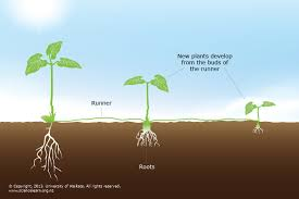 Vegetative Propagation By Roots - vegetative plant propagation u2014 science learning hub