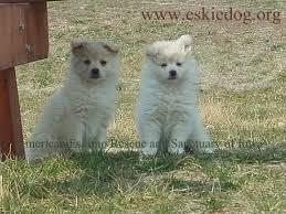 types of american eskimo dogs american eskimo dog rescue u0026 sanctuary useful information