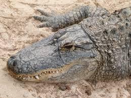 file alligator mississippiensis oasis park 13 jpg wikimedia