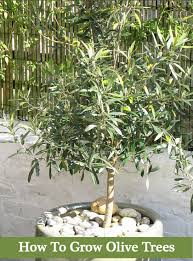 How To Grow Apple Trees In Backyard How To Grow Olive Trees In Your Backyard Or Containers