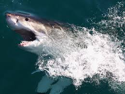 shark attacks in australia great whites have been killing and