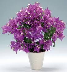 plants u0026 flowers lesser bougainvillea