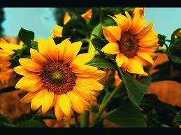 foto wallpaper bunga matahari hd sunflower wallpaper hd flower wallpaper