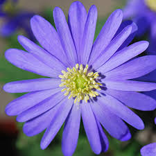buy winter windflower blue flowered bulbs anemone blanda u0027blue