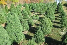 how to pick a christmas tree choosing a christmas tree