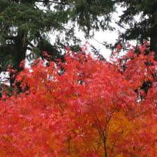 acer palmatum cascade is the ideal fiery japanese maple tree for