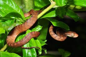 Blind Snake Hawaii Invasive Species In The United States Wikipedia