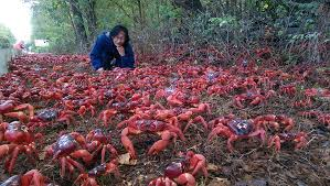 christmas island and the amazing red crab migration u2013 cedavril