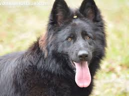 belgian sheepdog puppies for sale in florida vom hundhaus german shepherds puppies for sale
