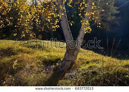 Lumberjack Climbing High Fir Tree Felling Stock Photo 352491053