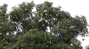 Mango Boom mango boom manja bong