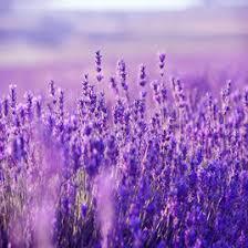 purple flower purple flowers by peder b helland