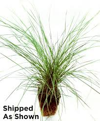 cottage farms direct live peppermint twist grass set of three
